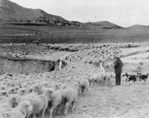 Used by permission, Utah State Historical Society Title: Sheep P.6 Photo #: 3793 (no collection)
