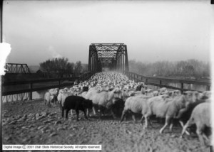 Used by permission, Utah State Historical Society Title: Sheep on Bridge (close), Green River, Utah Collection: Mss C 275; Shipler Commercial Photographers Collection Photo #: Shipler 5 x 7 #056