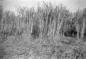 A Cane Patch Southern Matters, accessed 2014-06-06 Sonny shared the image with Southern Matters