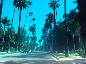 Palm Trees along the road in Beverly Hills