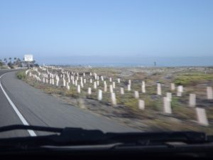 something on the side of the road for miles between the Hotel and Imperial beach. Don't know what they are