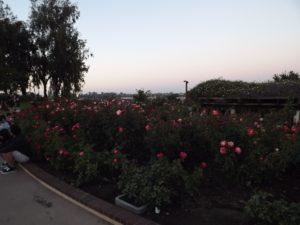 rose garden in the park