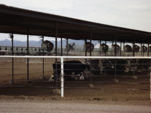 covered cows with fans and spray