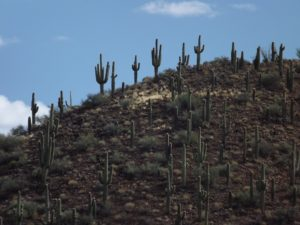 cacti on the ridge