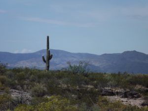 lone cactus with the mountain behind it