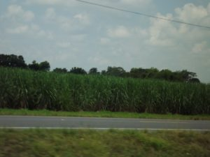 Sugar Cane patch. no way will we be sleeping near that