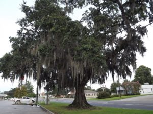 Spanish Moss on the trees